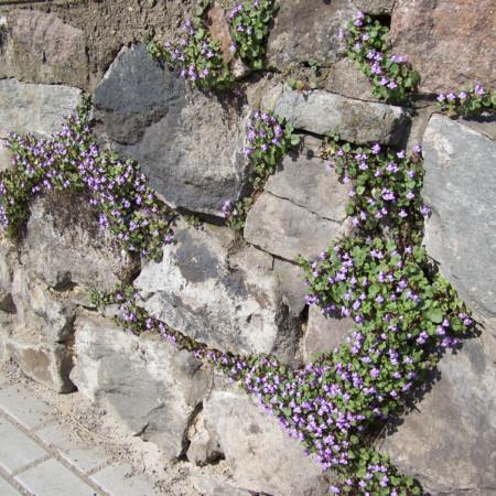 Cymbalaria muralis - muurleeuwebek