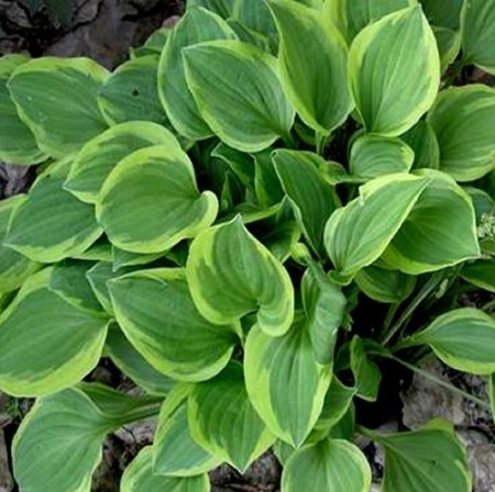 Hosta 'Golden Tiara' - Hartlelie