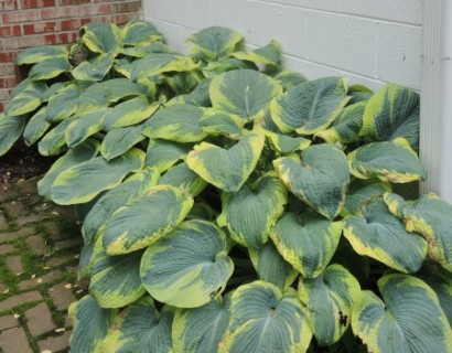 Hosta sieboldiana 'Frances Williams' - Hartlelie