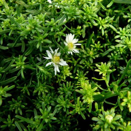 Aster ericoides 'Snowflurry' - herfstaster
