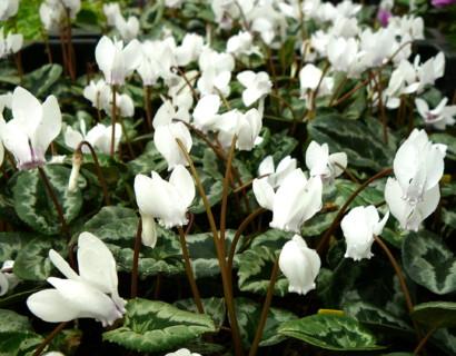 Cyclamen hederifolium 'Album' - Cyclaam / alpenviooltje