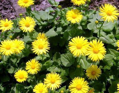 Doronicum orientale 'Little Leo' - Voorjaarszonnebloem