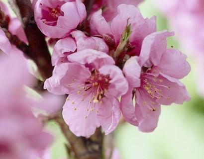 Prunus persica nuc. 'Garden Beauty'