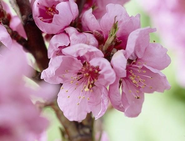 Prunus persica nuc. 'Garden Beauty' - Dwergnectarine