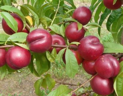 Prunus persica nuc. 'Silver Prolific' - Dwergnectarine