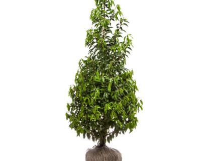 Prunus lusitanica 'Angustifolia' 150/175 cm - Portugese laurier