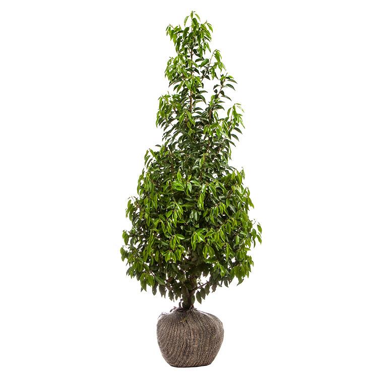 Prunus lusitanica 'Angustifolia' 175/200 cm
