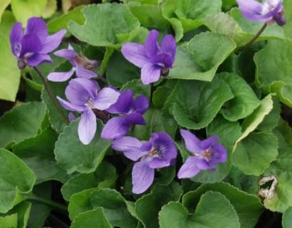 Viola odorata 'Köningin Charlotte' pot 2 liter - Maarts viooltje
