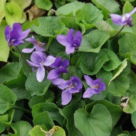 Viola odorata 'Köningin Charlotte' pot 2 liter