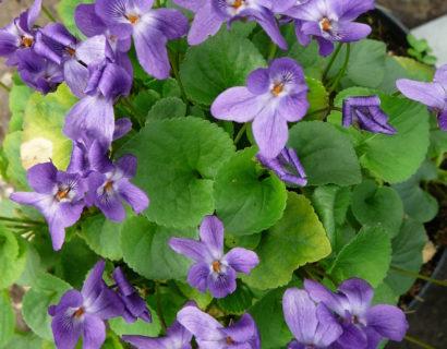 Viola odarata 'Königin Charlotte' - maarts viooltje