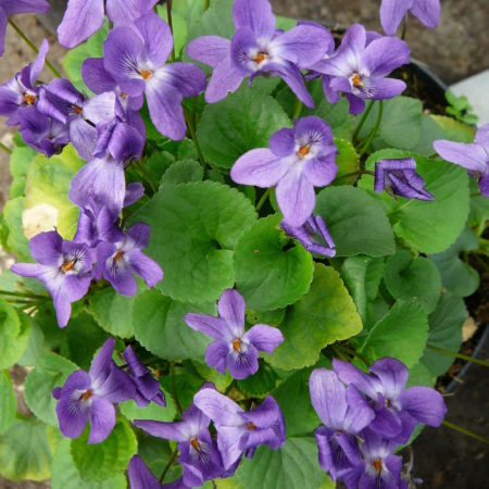 Viola odorata 'Königin Charlotte'  (grote pot) - Maarts viooltje