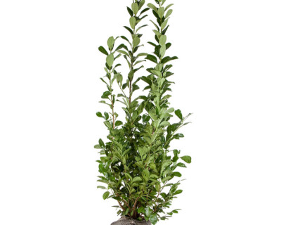Prunus laurocerasus 'Rotundifolia' kluit 200/225 cm
