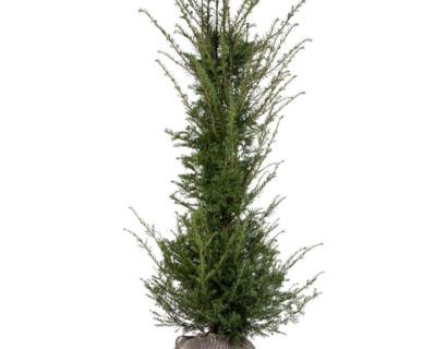 Taxus baccata kluit 175/200 cm - venijnboom