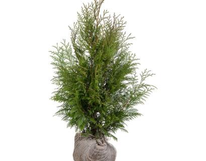 Thuja plicata 'Martin' kluit 80/100 cm - levensboom, groene haagconifeer