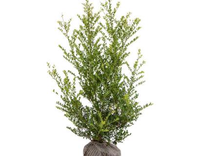 Ilex crenata 'Green Hedge' 100/125 cm - Japanse hulst