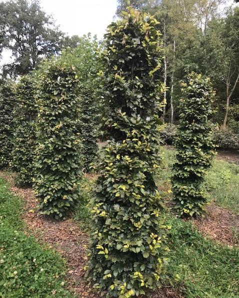 Fagus sylvatica zuilvorm - groene beuk