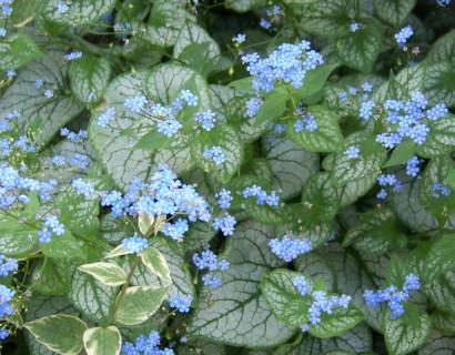 Brunnera macrophylla 'Jack Frost' pot 3 liter - Vergeet-mij-nietje