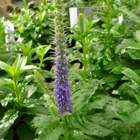 Veronica spicata 'Ulster Dwarf Blue' (grote pot) - Ereprijs