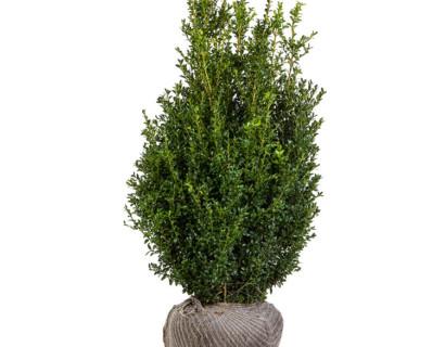 Buxus sempervirens struik 125/150 cm extra