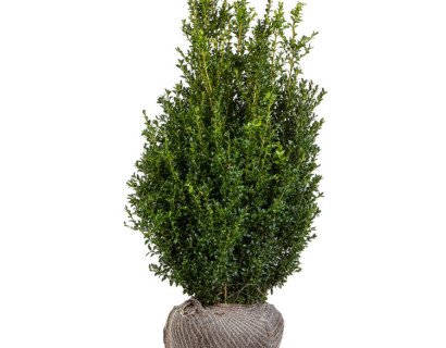 Buxus sempervirens struik 125/150 cm