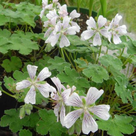 Geranium renardii (grote pot) - ooievaarsbek