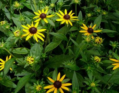 Rudbeckia fulgida 'Little Goldstar' (grote pot) - Zonnehoed