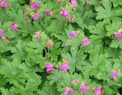 Geranium macrorrhizum - ooievaarsbek