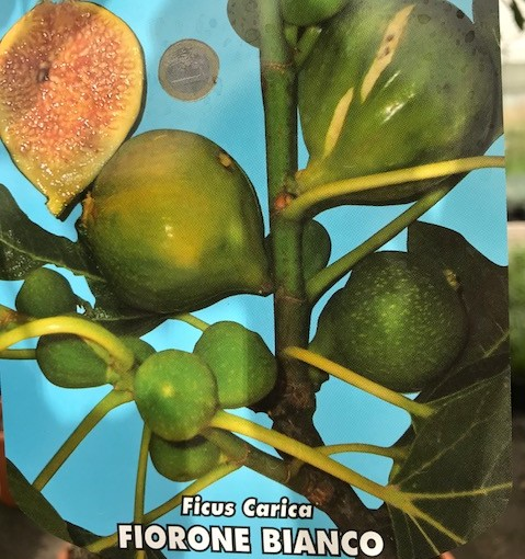Ficus carica 'Fiorone Bianco' - Vijg