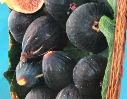 Ficus carica 'Negronne' pot 15 liter halfstam (vijg)