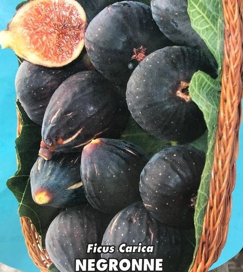 Ficus carica 'Negronne' - Vijg
