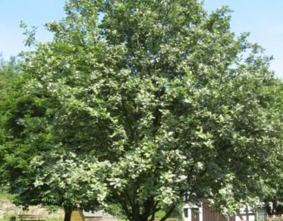 Sorbus aria 'Magnifica' - Lijsterbes