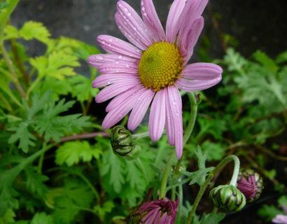 Chrysanthemum rubellum 'Clara Curtis' - chrysant