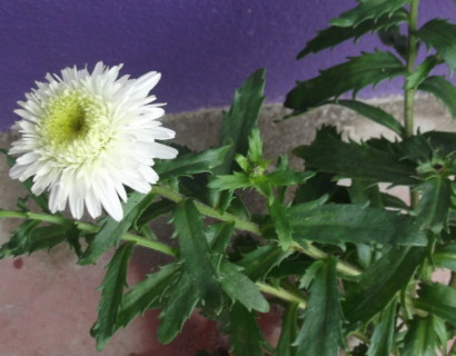 Leucanthemum 'Wirral Surpreme' - margriet