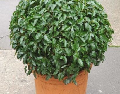 Prunus lusitanica 'Angustifolia' bolvorm