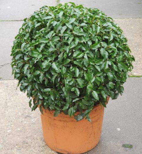 Prunus lusitanica 'Angustifolia' bol 70 cm