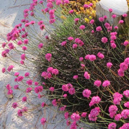 Armeria maritima 'Rubrifolia' - Engels gras