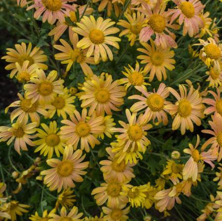 Chrysanthemum rubellum 'Mary Stoker' - chrysant