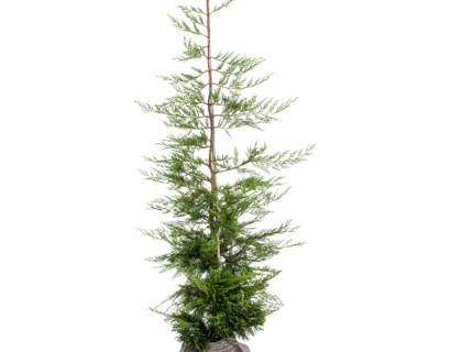 Cupressocyparis leylandii kluit 150/175 cm - groene haagconifeer