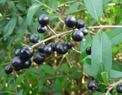 Ligustrum vulgare - Gewone liguster