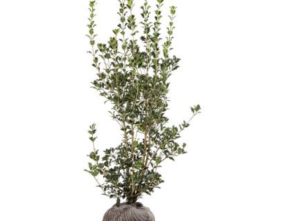 Osmanthus heterophyllus 175/200 cm - schijnhulst