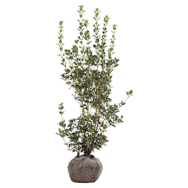 Osmanthus heterophyllus 175/200 cm