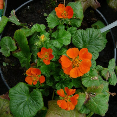 Geum  coccineum 'Cooky' (grote pot) - Nagelkruid