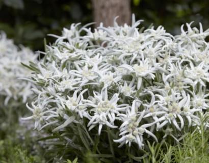 Leontopodium alpinum 'Blossom of Snow' pot 3 liter (Edelweiss)