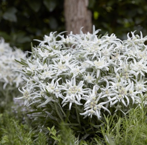 Leontopodium alpinum 'Blossom of Snow' (grote pot) - Edelweiss