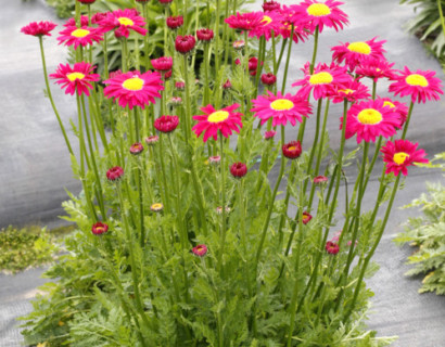 Tanacetum 'Radiant Deep Pink' (grote pot) - Margriet