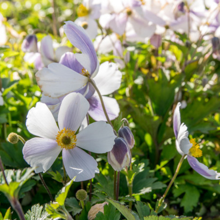 Anemone 'Wild Swan' (grote pot) - anemoon