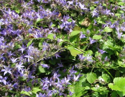 Campanula poscharskyana 'Blauranke'  (grote pot) - klokjesbloem