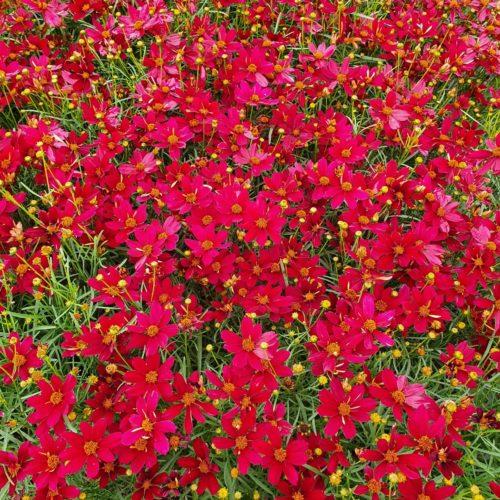 Coreopsis verticillata 'Red Satin' - meisjesogen