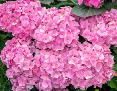 Hydrangea macrophylla 'Bouquet Rose' pot 2 liter - gewone laurier, paplaurier