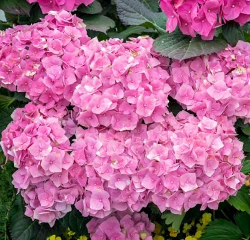 Hydrangea macrophylla 'Bouquet Rose' - Hortensia